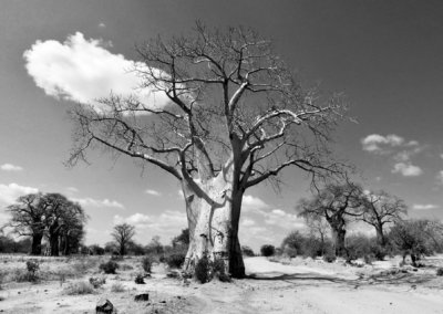 baobab 03